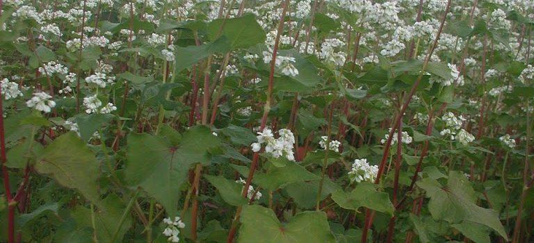 今年も、花盛りのソバ畑です・